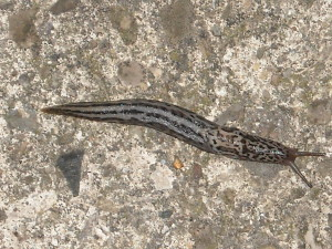 Great Grey Slug